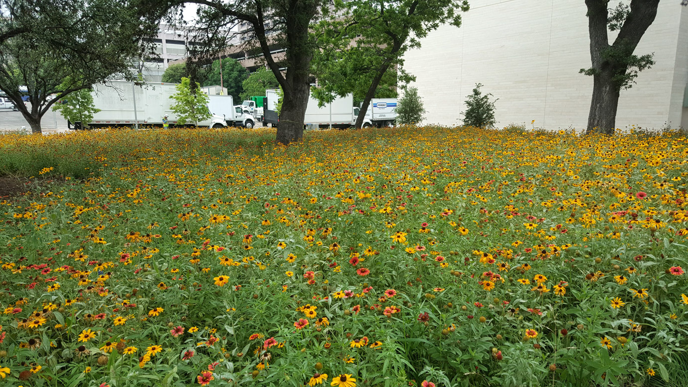 Wildflower meadow at Dell Medical School