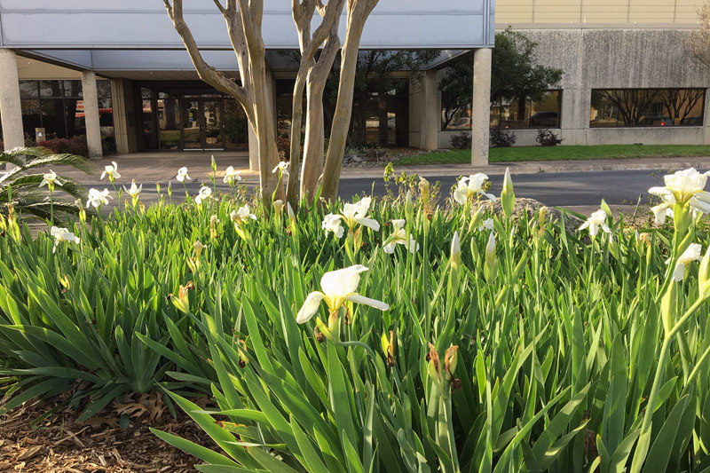 White iris blooms at PRC