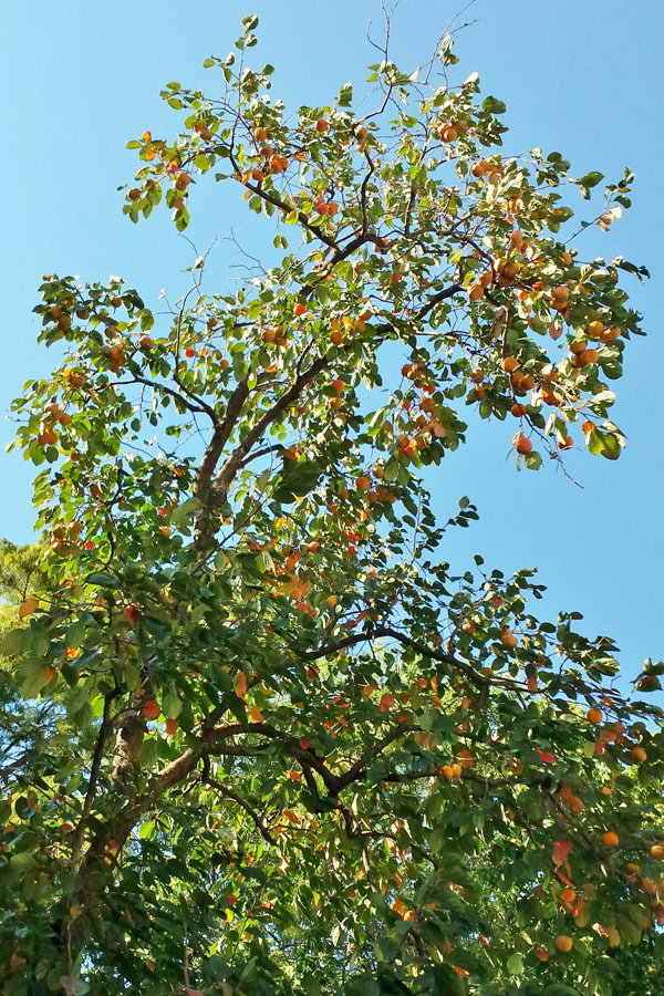 Persimmon Tree close-up with fruit