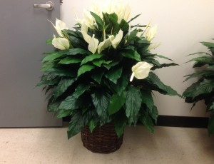 Plant, silk Peace Lily