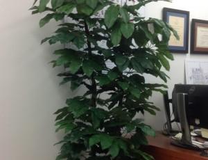 Plant, silk Schefflera